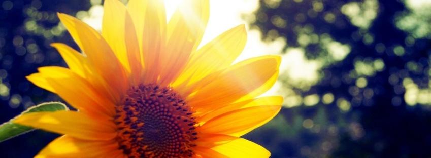 Pretty Sunflower facebook timeline cover 849 X 312 Nature/Flowers,Flowers,Sunflower,nature,pflanzen,Plants,sonnenblumen,leben,Pretty,Lifes,schoene
